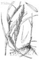 Muhlenbergia frondosa HC-1950.png