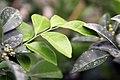 Murraya paniculata Lakeview 11zz.jpg