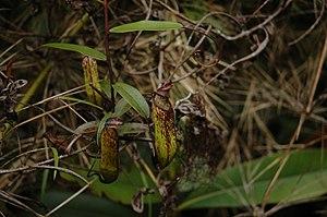 Nepenthes muluensis - A climbing stem with upper pitchers
