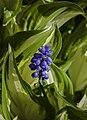 Muscari armeniacum, Jardín Botánico de Múnich, Alemania, 2013-05-04, DD 01.jpg