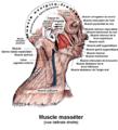 Muscle masséter2.png
