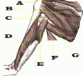 Muscles - Posterior Scapula and Humerus.png