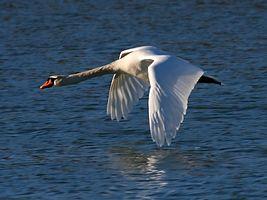 Mute Swan (Cygnus olor) (14).jpg