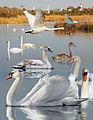 Mute Swan From The Crossley ID Guide Eastern Birds.jpg