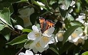 Nässelfjäril (Aglais urticae) 01.jpg