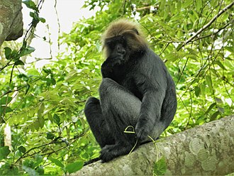 Old World monkey - An adult Nilgiri langur in Periyar National Park and Wildlife Sanctuary, Kerala, India