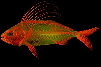 Alizarin - Red alizarin stained juvenile Roosterfish (Nematistius pectoralis) lit by fluorescent light.