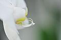 Nachtfalter Orchidee, Phalaenopsis 01.JPG