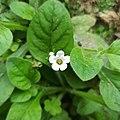 Nama jamaicensis (Boraginaceae) I.jpg