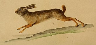Natal red rock hare - Illustration of P. crassicaudatus from Geoffroy, 1832.