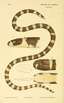 Natural history of Victoria (Pl. 52) (5998816804).jpg