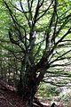 Naturschutzgebiet Neuer Hagen - Alte Buche.jpg