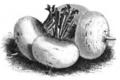 Navet turnep Vilmorin-Andrieux 1883.png