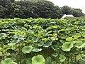 Nelumbo nucifera in north moat of Fukuoka Castle 13.jpg