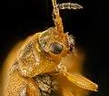 Neogalerucella calmariensis or N pusilla,u,face wet 2016-09-08-18.00 (29661621385).jpg