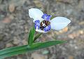 Neomarica gracilis (13932714747).jpg
