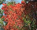 Neoshirakia japonica (leaf s8).jpg