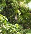 Nephila-pilipes-Vtn2010.jpg