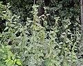 Nettle (Urtica dioica) - Oslo, Norway 2020-08-03.jpg
