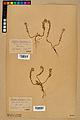 Neuchâtel Herbarium - Alyssum alyssoides - NEU000021962.jpg