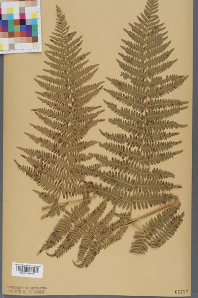 File:Neuchâtel Herbarium - Pteridium aquilinum - NEU000000744.tiff