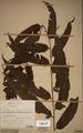 Neuchatel Herbarium Types NEU000113031.tif
