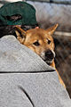 New Guinea Singing Dog being cuddled.jpg