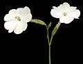 Nicotiana rosulata subsp. rosulata - Flickr - Kevin Thiele (1).jpg