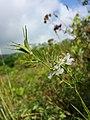 Nigella arvensis sl41.jpg