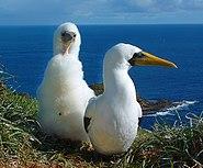 Norfolk Island masked boobies