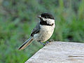 Northern Chickadee RWD2.jpg