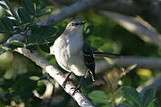 Northern Mockingbird, Loxahatchee.JPG