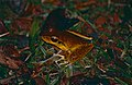Northern Stony Creek Tree Frog (Litoria jungguy) (9762403085).jpg