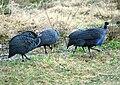 Numida meleagris, Acryllium vulturinum - Disney's Animal Kingdom Lodge, Orlando, Florida, USA - 20100119.jpg