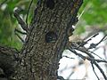 Nuttall's Woodpecker, Baby - Flickr - GregTheBusker.jpg
