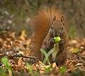 Nutty squirrel (50351388388).jpg