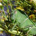 Nymph of Egyptian grasshopper. Anacridium aegyptium - Flickr - gailhampshire.jpg