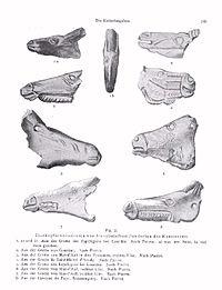 Ossements retrouvés dans les Pyrénées, en particulier dans la grotte Saint-Michel d'Arudy (ossement n°4), datant de la préhistoire.