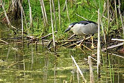 ONTARIO-00351 - Black-crowned Night-Heron (14656479040).jpg