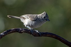 Oak Titmouse (19208880169).jpg