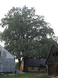Oak Zalesie Królewskie
