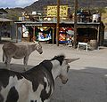 Oatman burros.jpg