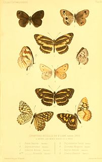 <i>Loxerebia</i> genus of insects