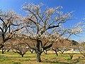 Ogose Plum Tree In Ogosebairin 1.JPG