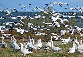 Baie de l'Isle-Verte - White geese in Baie de l'Isle-Verte