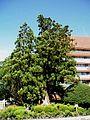 Old-Sugi-Tree-and-Oshu-City-Hall-2013080402.jpg