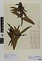Olearia capillaris O. lacunosa Buchanan (AM AK9544).jpg