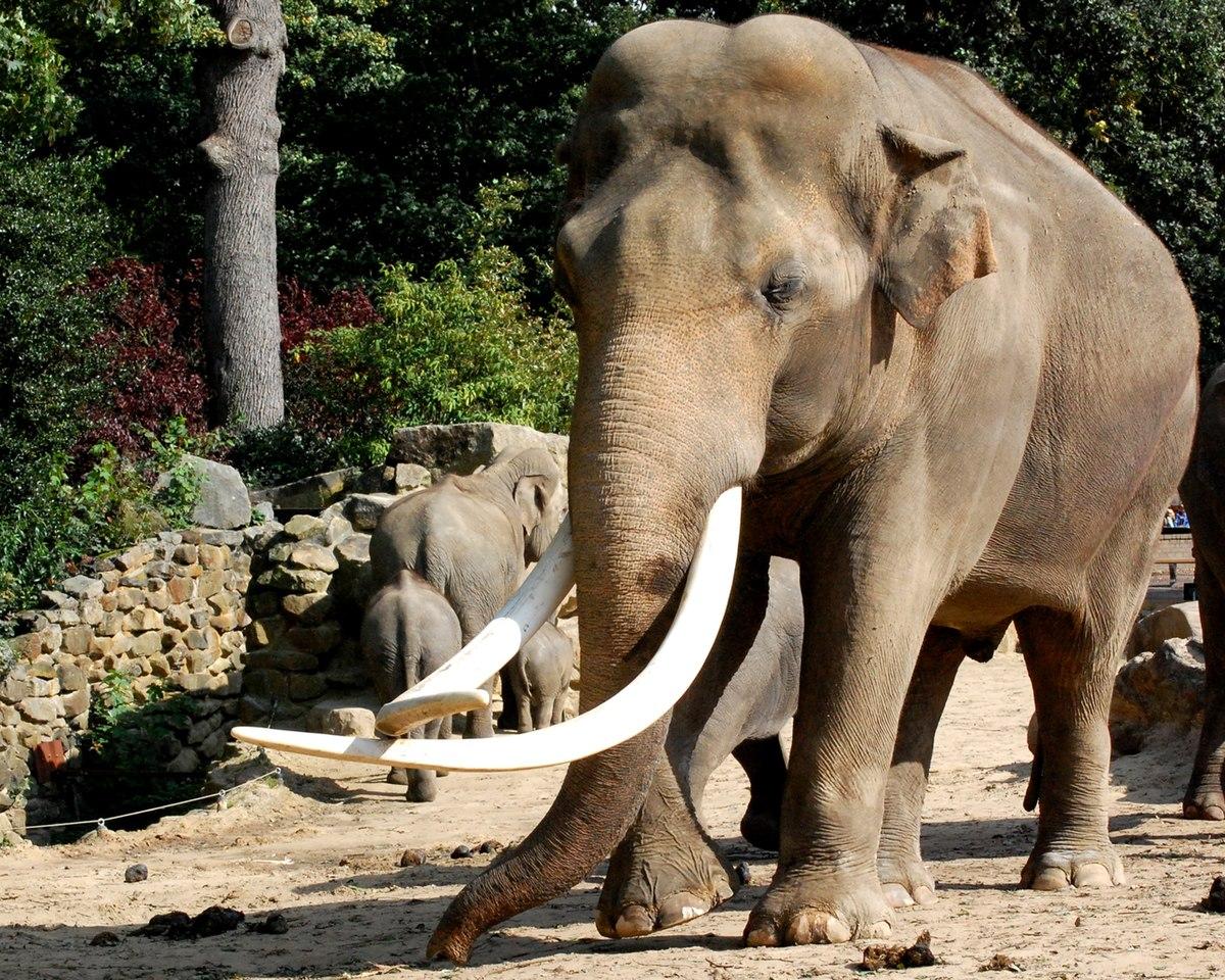 Elephas – Wikipedia