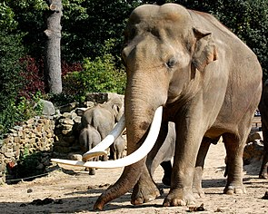 Asiatischer Elefantenbulle (Elephas maximus)