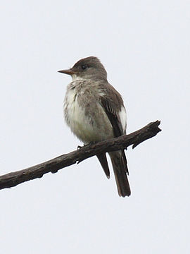 Olive-sided Flycatcher.jpg